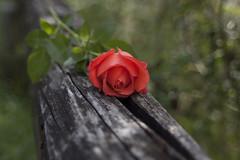 Liebe, Leidenschaft.. (milance1965) Tags: rose rot roterose leidenschaft liebe canon 50d sigma holz macro blume flower natur