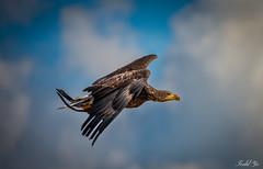 Bald Eagle  (T.ye) Tags: bald eagle young bird animal cloud sky flying todd ye light outside outdoor
