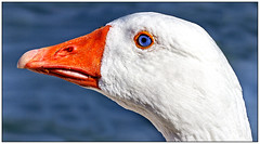 Domestic Goose (Ringway Dave) Tags: goose painswickpark canon canon600d domesticgoose bird fowl