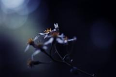 more light (N.sino) Tags: xt1 xf60mmf24r flower whiteflower