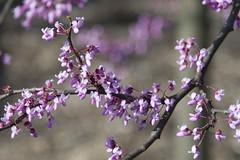 Red_bud_tree_IMG_5457 (Greg Kluempers) Tags: plantsandfungi