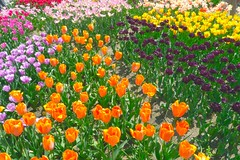 Tulip Garden 2 (love_child_kyoto) Tags: travel flowers nature kyoto colorful gardening tulip     botanicalgarden flowergarden         colorphotoaward leicadlux5  rememberthatmomentlevel1