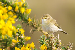 Willow Warbler (Co Down) (Alistair Prentice.) Tags: summer portrait irish up canal spring close pentax sigma 150 willow 500 prentice alistair warbler gorse kx migrant newry murlough