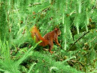 Eichhörnchen, NGID1910754213