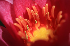 """Nenuphar """"Chateau le Rouge"""" (Carine.C) Tags: water canon raw waterlily nénuphar redflower bassin lilyleaf nymphea tonneau noretouch eos450d canonefs1855mmf3556is latourmarliac kenkoautomaticextensiontubesetdg"""
