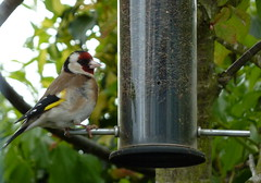 Goldfinch (Nigel_Brown) Tags: uk goldfinch finch southampton marchwood gardenbird nygerseed