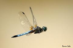 "The Wing Symphony (Explored) (Ramen Saha) Tags: dragonfly bluedasher pachydiplaxlongipennis bluedragonfly dragonflyinflight malebluedasher ramensaha swiftlongwingedskimmer"""
