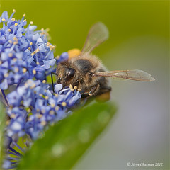 Busy Bee (Steve _ C) Tags: uk flower macro nature closeup wales canon garden bee 2012 100f28 5dmk11 stevechatman
