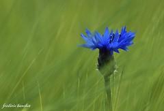 bleuet dans un champs de blé (Différents Regards - Fred Banchet) Tags: nature feurs rhonealpes mfcc