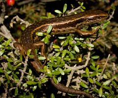 Oligosoma burganae (3) (ROCKnVOLE Photography) Tags: newzealand reptile wildlife lizard otago skink rockandpillar oligosoma lammermoore burganae burganskink