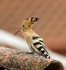 Hoopoe (Upupa epops) (Panayotis1) Tags: birds canon aves greece upupaepops hoopoe animalia chordata upupa upupidae coraciiformes canonef400mmf56lusm imathia aggelochori    t kenkopro300afdgx14x