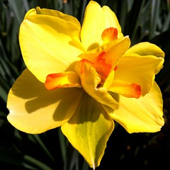 daffodil tahiti (SS) Tags: light italy flower macro nature yellow angle pov perspective framing lazio iphone