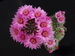 Mammillaria zeilmanniana (juan_y_ana) Tags: sp mammillaria zeilmanniana
