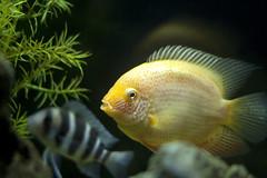 Gold Severum (Matt Frahm) Tags: fish gold aquarium tank freshwater cichlid severum