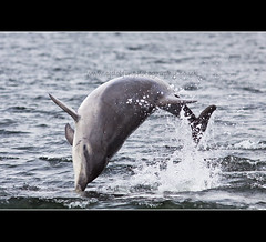 Moray Firth Dolphin, Chanonry Point (cjdolfin) Tags: sea wild beach nature water mammal scotland highlands marine alba dolphin wildlife highland shore splash calf marinemammal blackisle bottlenose morayfirth cetacean bottlenosedolphin tursiopstruncatus fortrose rossshire chanonrypoint cjdolfin odontocete