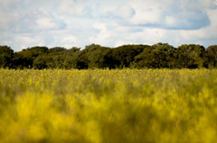 Sustainable development. Crosby (Ianmoran1970) Tags: sky cloud tree green field yellow canon focus dof bokeh seed line bloom 28 70200 sooc ianmoran ianmoran1970