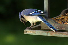 Blue Jay Pecking Open a Seed_6687 (Bobolink) Tags: ontario stirling bluejay