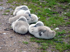 It's so tiring growing up! (stokeyouth1) Tags: sleeping nature swan babies path cygnet fluffy down panasonic lazy naturereserve staffordshire stafford cygnusolor doxey doxeymarshes staffordshirewildlifetrust dmctz5 dochesig stokeyouth1