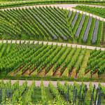 Phacelia in Spring Vineyard