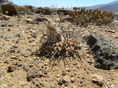 DSCN8620 (Robby's Sukkulentenseite) Tags: chile cactus cacti coquimbo reise kaktus kakteen standort loschoros eltrapiche neochilenia heinrichiana chorosensis ka4118s rb2041 samen01