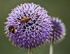 Friends (Seahorse-Cologne) Tags: flores fleur purple natur lila bee bumblebee abeja allium biene hummel violett thegalaxy fbdg flickrstruereflection1 allofnatureswildlifelevel1 rememberthatmomentlevel1