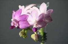Doritaenopsis &amp