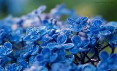 French Hydrangea (Steve Hankins) Tags: flower macro closeup canon flora 30d frenchhydrangea