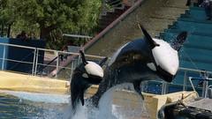 Tata Freya & Moana (tiitetrua) Tags: orca shamu marineland freya moana orque