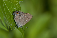 Banded Hairstreak 2 (violetflm) Tags: june butterfly insect parkinglot native il northbrook hairstreak spg satyriumcalanus bandedhairstreak d300s 45orless d3u4485