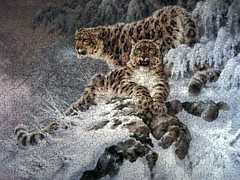 """Himalayan Royalty"" (Snow Leopards) (Puzzler4879) Tags: art puzzles himalayas pointshoot bigcats puzzling canonpowershot musictomyeyes leopards jigsaws wildlifeart snowleopards canondigital canonaseries canonphotography wonderfulphotos jigsawpuzzles a590 canonpointshoot flickraward heartawards larryfanning peaceawards a590is canona590is canonpowershota590is powershota590is canona590 himalayanwildlife artisticpuzzles handselectedphotographs mygearandme mygearandmepremium level1photographyforrecreation redgroupno1 level1autofocus"