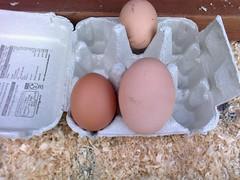 0612.0612 (fonepixer family) Tags: chicken egg massive poultry eggs hen hens eggy fresheggs whopper largeegg hugeegg newlaid