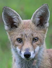Fox Cub Bold (Dan Belton ( No Badger Cull )) Tags: wood uk summer nature animal animals cub native leicestershire wildlife july fox quite loughborough 2012 pleased farthing vulpesvulpes reynard of