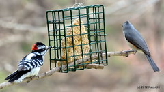 DSC_0139 (rachidH) Tags: nature birds woodpecker downywoodpecker nj pic sparta titmouse downy tuftedtitmouse mesange picmineur rachidh