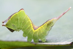 """Cerura vinula"" - hermelijnvlinder (bugman11) Tags: macro green nature animal animals fauna canon bug insect niceshot insects bugs 1001nights catterpillar catterpillars thegalaxy platinumheartaward 100mm28lmacro 1001nightsmagiccity mygearandme mygearandmepremium ringexcellence allnaturesparadise rememberthatmomentlevel1"