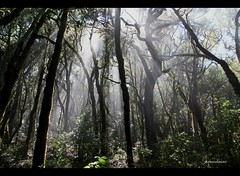 rays of light (bernd obervossbeck) Tags: nature forest natur jungle wald sonnenstrahlen sunbeams raysoflight urwald lagomera kanarischeinseln canarianislands mygearandme mygearandmepremium