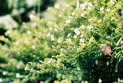 (yttria.ariwahjoedi) Tags: road white plant flower tree green film nature grass pine analog forest canon indonesia landscape flora purple ae1 hill grow tiny bandung lembang jawa planting barat cikole