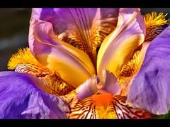 Iris (Jeff S. PhotoArt) Tags: blue iris summer orange white plant flower detail macro nature glass floral beautiful leaves yellow closeup contrast dark spring stem flora purple natural blossom colorfull background fresh single bloom vase mauve blossoming transparent stark botany isolated mygearandme btrbp jeffsphotoart