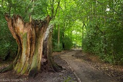 SP-2826 (Kevin~Smith) Tags: tree forest path trunk burnhambeeches