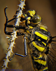 Golden Ringed Dragonfly (Cordulegaster boltonii). (spw6156) Tags: light copyright golden dragonfly low steve  ringed waterhouse 640 cordulegaster boltonii macroiso