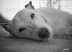 max (__JML__) Tags: sleeping dog white black blanco amigo nikon friend sleep negro mascot perro siesta blanc mascota negre gos migdiada podenco jml amic