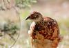 1 (doruk22) Tags: türkiye phasianus colchicus sülün sulun