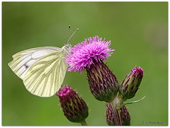 Cabbage white and Thistle. (eric robb niven) Tags: macro cycling scotland pentax dundee dunkeld lochs kx ericrobbniven
