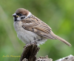 Tree Sparrow Juv (GemElle Photography - off & on sorry) Tags: brown house tree birds garden grey nikon feathers nuts seed feeder chick sparrow housesparrow juvenile gemelle treesparrow d3100 gemelle1