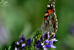 Butterfly { 2 /  } (nour alibrahim |  ) Tags: photo nikon close photos noor   nour           nouralibrahim