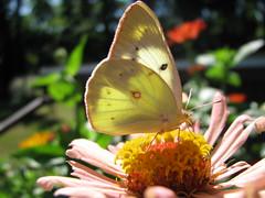 Prima Ballerina (jrix) Tags: flowers macro blossoms butterflies zinnias jul12 orangesulphurcoliaseurytheme theenchantedcarousel sulphurscoliadinae texaszeenyuhs