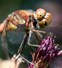 Common Darter (Nige's Place) Tags: uk nature dragonflies wildlife insects damselflies odonata darters commondarter