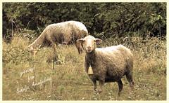 meek like sheep (AleksandraMicic) Tags: photographs images photography animals sheep scenery serbia bukulja inspiration aleksandramicic 7dwf