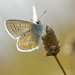 Argus bleu (Polyommatus icarus) Common Blue (Sinkha63) Tags: france macro nature butterfly wildlife explore papillon argus limousin commonblue polyommatusicarus lycaenidae polyommatus polyommatinae azur explored argusbleu puydarnac