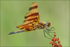 Halloween Pennant...Perched (muledriver) Tags: orange green nature dragonflies insects halloweenpennant lakekatherine