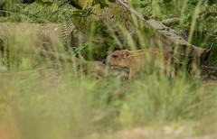Marcassin d't (Eric Penet) Tags: wild france nature animal forest wildlife sus fort nord mammifre sauvage jeune faune sanglier scrofa marcassin avesnois mormal locquignol suid
